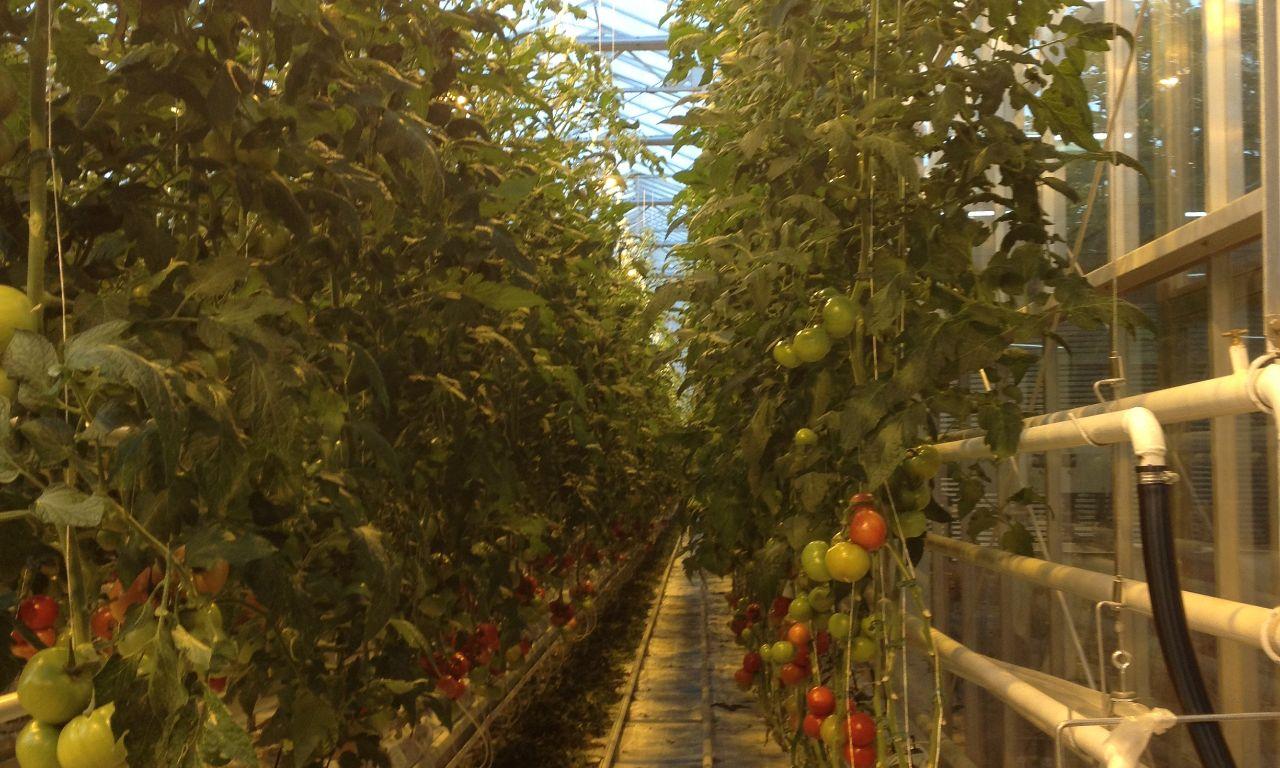 Venlo-Greenhouses-06