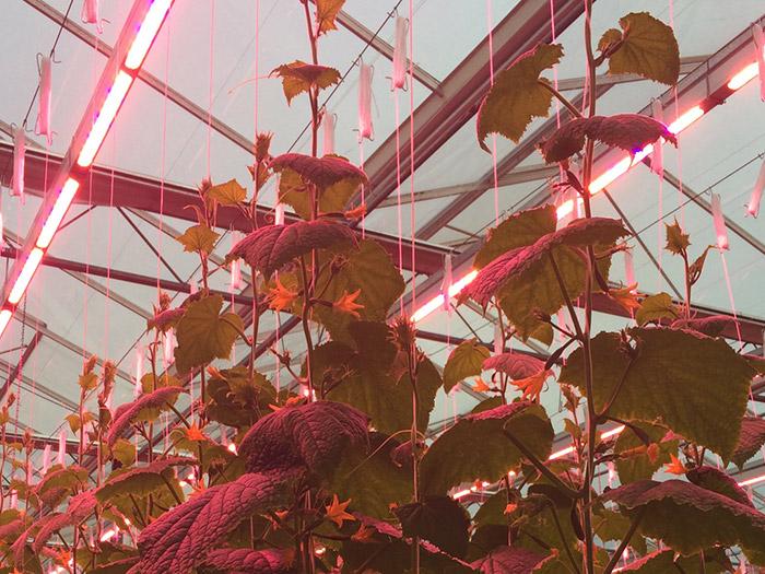 Prins Greenhouses LED Lighting